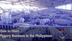 How-to-Start-piggery-businees-in-philippines